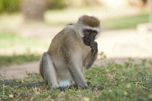 Fotografie, Obraz  Vervet Monkey