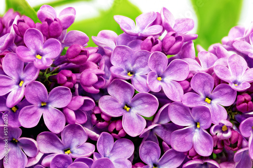Spoed Fotobehang Macro Beautiful Bunch of Lilac close-up.
