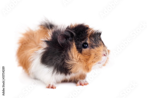 Fotografía  Guinea pig isolated on white background