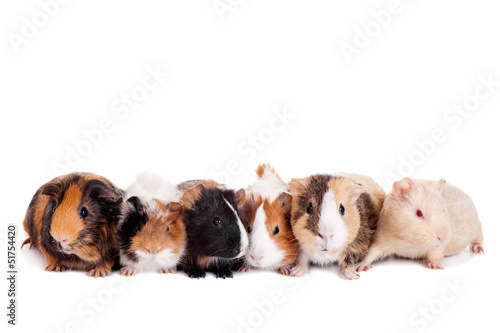 Group of 6 guinea pigs on a white background
