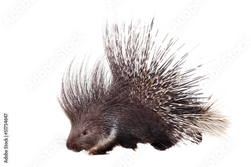Photo  Indian crested Porcupine (Hystrix indica) on white