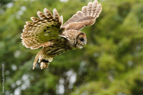 Tawny Owl flying Wallpaper Mural