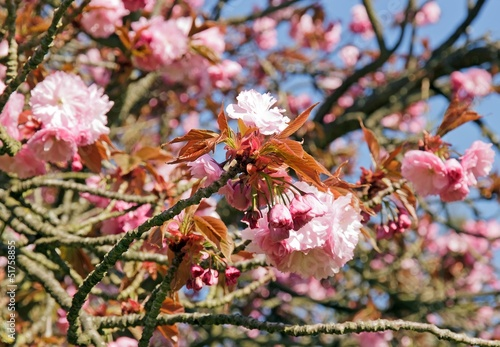 Branche De Cerisier Japonais En Fleurs Mois D Avril Buy This