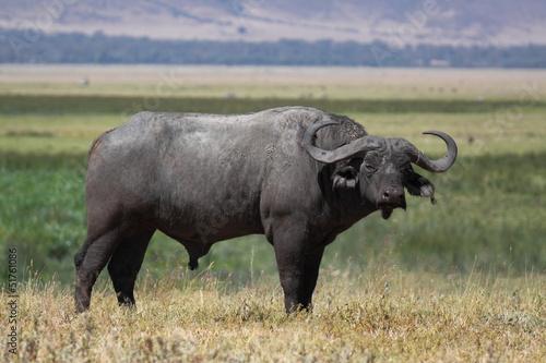 Keuken foto achterwand Buffel Lone old male cape buffalo standing on the grass