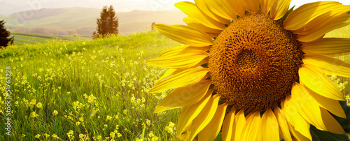 Photo Stands Melon landscape with sunflowers in Tuscany, Italy