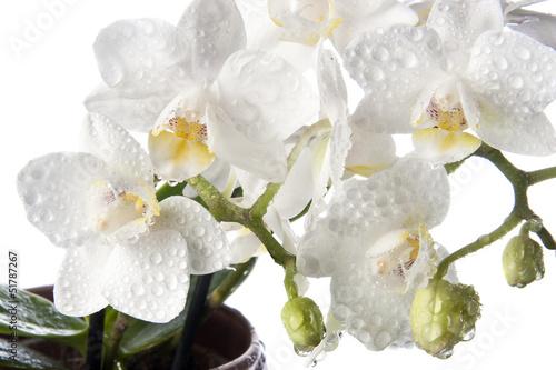 Papiers peints Orchidée Orchidée 002