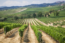 Vineyard In The Area Of ...