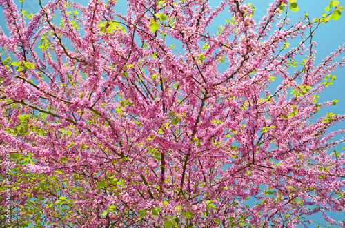 Fotografie, Obraz  redbud pink small spring flowers for background and blue sky