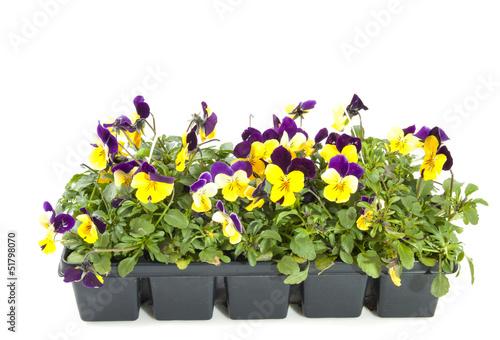 Papiers peints Pansies Violets in bloom