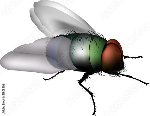 Fotografie, Obraz  mosca comune