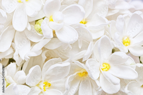 Spoed Fotobehang Macro Beautiful white Lilac. Macro.