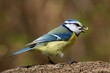 Eating bluetit on a branch facing right