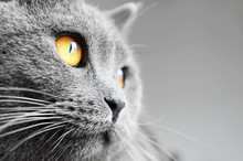 British Shorthair Cat Detail (...
