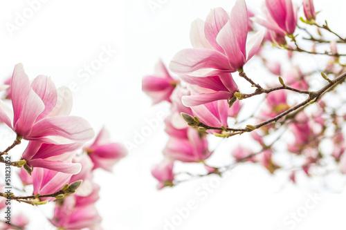 magnolienbluten-fruhlingszeit