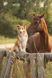 Fototapeta Konie - Red border collie dog and horse