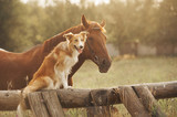 Fototapeta Dogs - Red border collie dog and horse