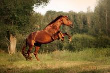 Beautiful Bay Horse Rearing Up