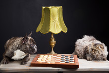 French Bulldogplaying Checkers...