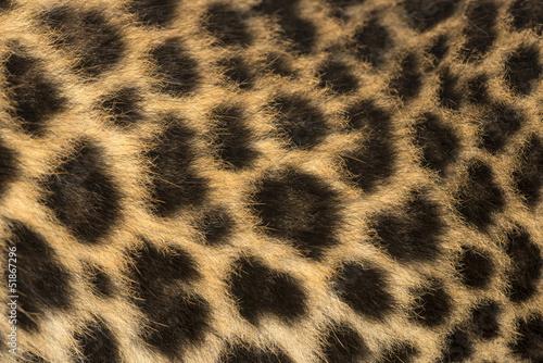 Deurstickers Luipaard Macro of a Spotted Leopard cub's fur - Panthera pardus