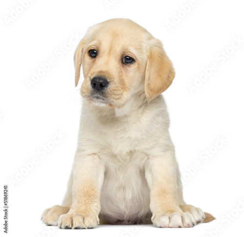 Fotografie, Obraz  Labrador Puppy sitting, isolated on white