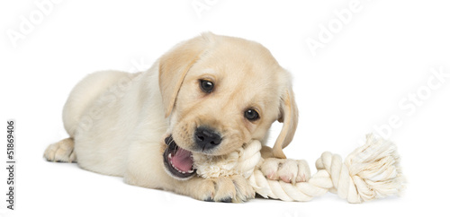 Vászonkép Labrador Retriever Puppy, 2 months old, lying and chewing a rope