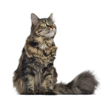 Maine Coon Cat, Sitting And Looking Up, Isolated On White