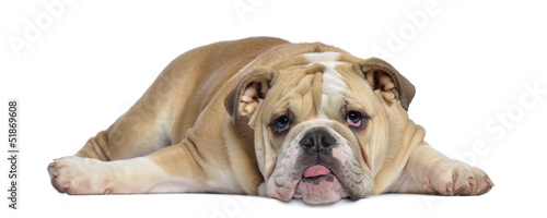 Photo  English Bulldog puppy, 5 months old, lying exhausted