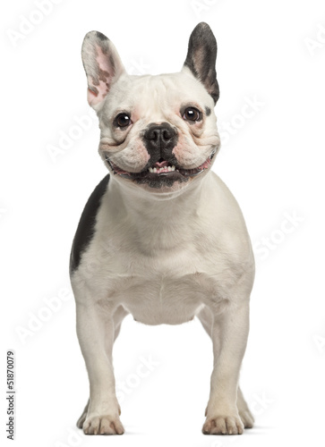 Poster Bouledogue français French Bulldog, 2 years old, standing and facing
