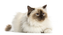 Birman Cat, 3 Years Old, Lying, Isolated On White