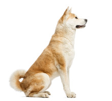 Side View Of Akita Inu Sitting...