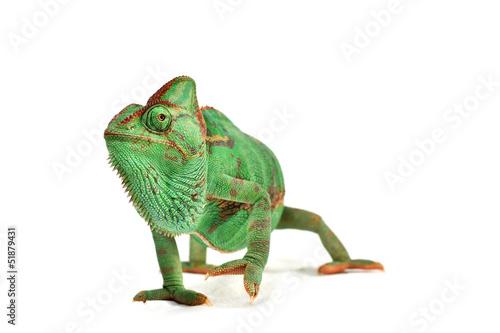 Foto op Plexiglas Kameleon Chamaeleo calyptratus