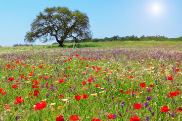 FototapetaRed poppy field on a lovely summer day.