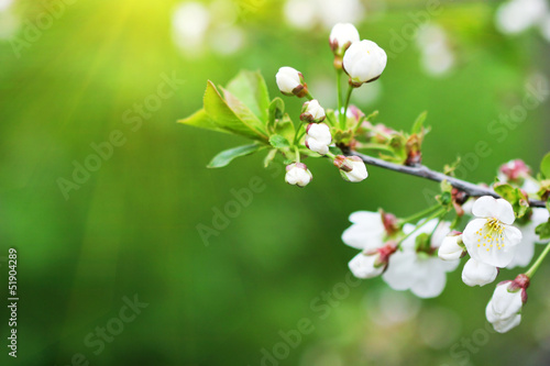flowering plum tree branch