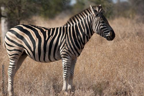 Tuinposter Zebra Zèbre de profil