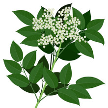 Elderflower Branch  With Leaves Isolated On White Background