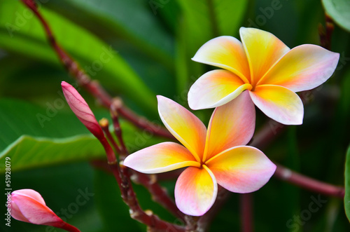 Close up of frangipani flower or Leelawadee flower blooming on t Tableau sur Toile