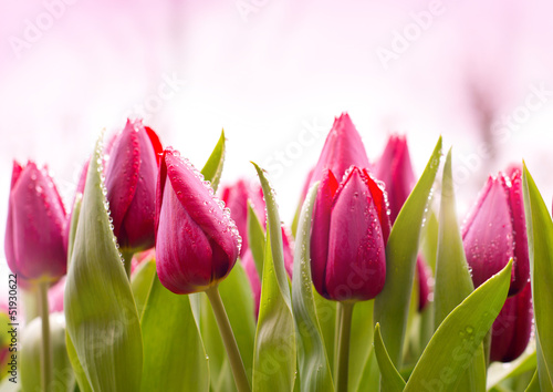 Foto op Aluminium Tulp Fresh Tulips with Dew Drops