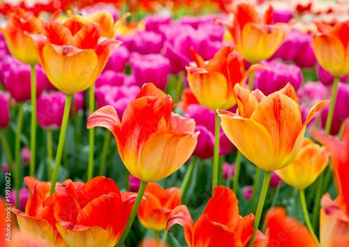 Fotografia, Obraz Floral Tulips Background