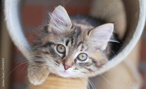 Fotografie, Obraz  Cucciola di gatto siberiano tricolore