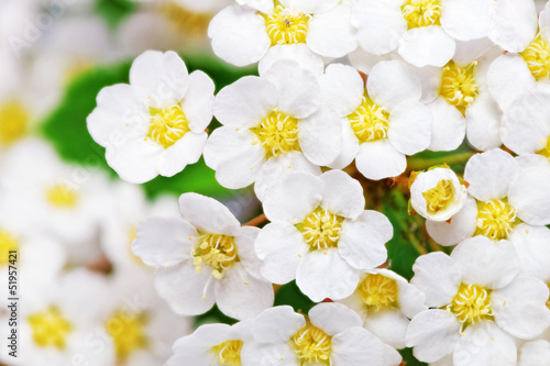 Keuken foto achterwand Macro Beautiful white flowering shrub Spirea aguta (Brides wreath).