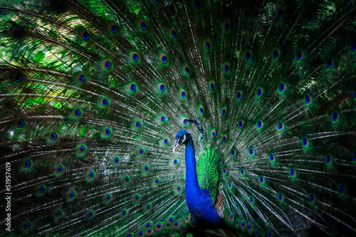 Papiers peints Paon beautiful peacock with feathers