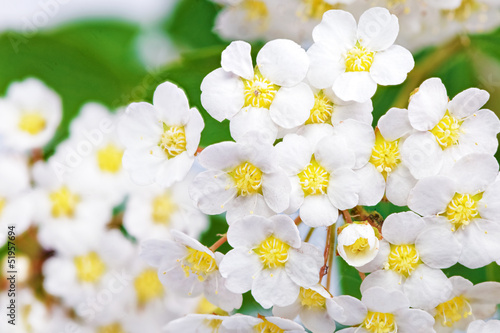Macro Beautiful white flowering shrub Spirea aguta (Brides wreath).