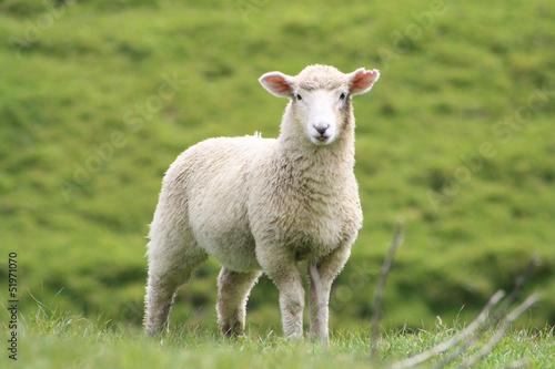 Deurstickers Schapen Schaf zeigt Zunge