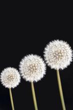 Three Dandelion Flowers (Taraxacum Officinale) Over Black