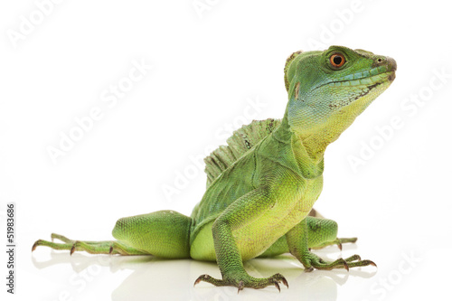 Photo  Green basilisks