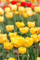 Panel Szklany Tulipany Yeloow tulips at spring
