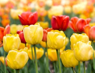 Panel Szklany Tulipany Yellow and red tulips