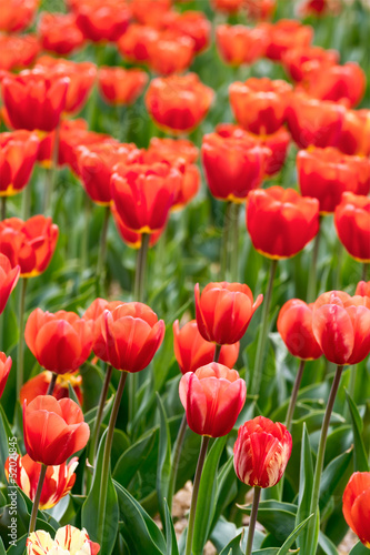 Spring red tulips - 52021845