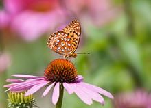 Fritillary Butterfly Feeding O...
