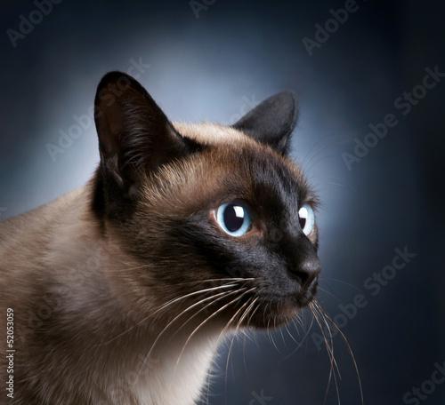 Fotografia Portrait of the siamese cat over dark background